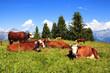 Brown milk cows