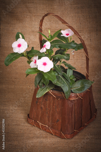 Catharanthus beautiful tropical flowers in a basket