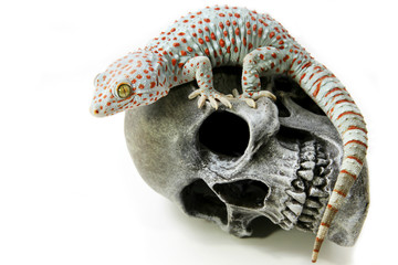 Tokay Gecko on skull