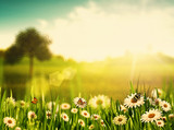 Fototapety Bright summer afternoon. Natural backgrounds with beauty chamomi