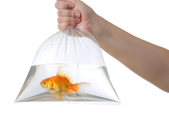 Hand and plastic bag with golden fish on white