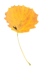 Autumn Aspen leaf, Populus tremula isolated on white background