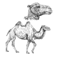 The vector of walking camel with the big scale of head