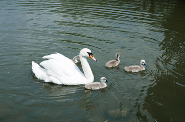 White Swan on the lake with nestlings