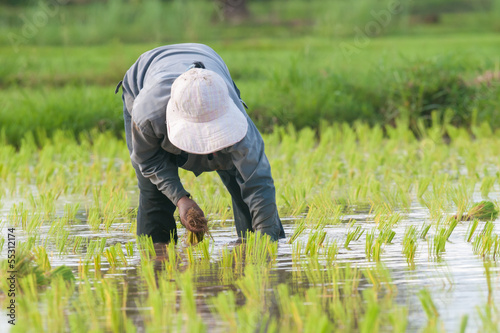 Thai farmer rice seeding on rice fields