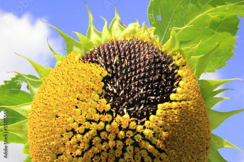 reife Sonnenblume mit Samenkernen