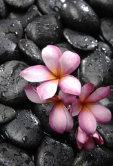 Set of three frangipani and black pebbles
