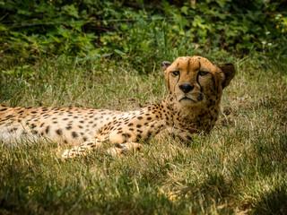 Cheetah (Acinonyx jubatus) lying on the grass.