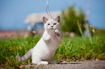 munchkin kitten playing outdoors