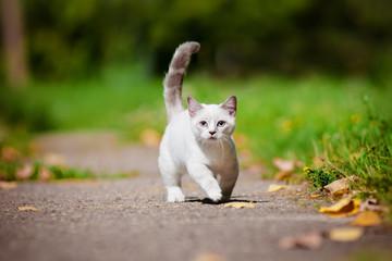 munchkin kiten with short legs