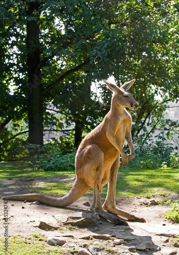 Poster Kangoeroe Kangaroo