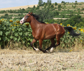 Beautiful horse running in front of sunflowers
