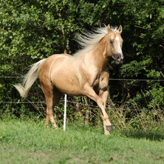 Nice palomino horse with long blond mane running