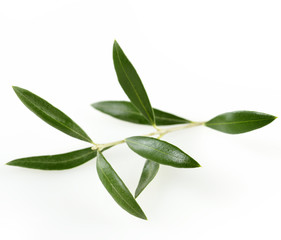 Green  Olive Branch With  Leaves