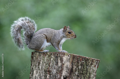 In de dag Eekhoorn Grey squirrel, Sciurus carolinensis
