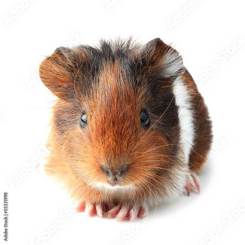 Small guinea pig isolated on white