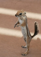 A Portrait of a Whitetail Antelope Squirrel