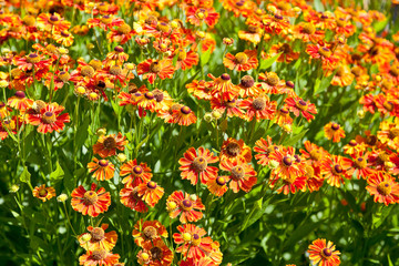 flowering field of gaillardia flower