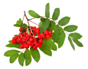 rowan berries and green leaves