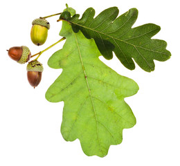 green oak leaves and acorns