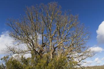 Arbol Gran Roble con brezos