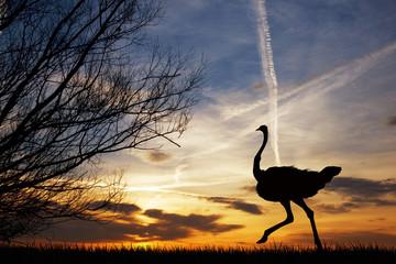Ostrich at sunset
