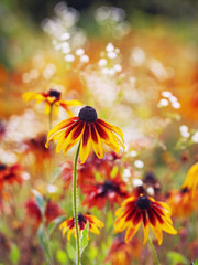 coneflowers in the garden