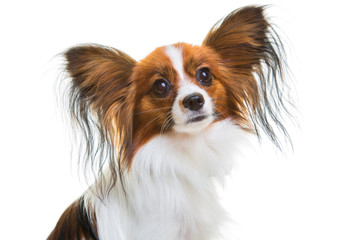 papillon dog on isolated white
