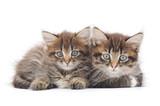 Fototapety Two small kittens