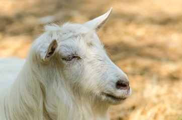 White Goat Portrait