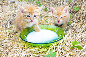 Young kittens drinking milk