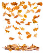 Oak autumn leaves falling to the ground, white background.
