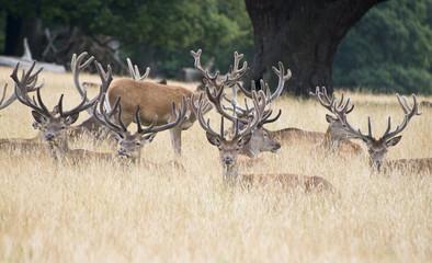 Red deer stag herd in Summer field landscape
