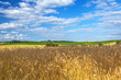 Golden wheat field with blue sky in Poland