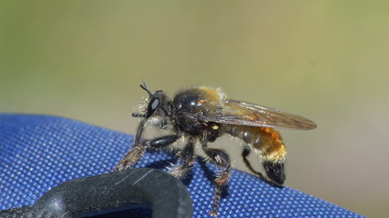 wild bee macro