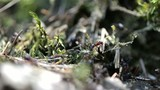 Some Ants in the forest (Macro Video)
