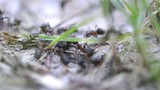 Group of Ants in the Forest (Macro Video)