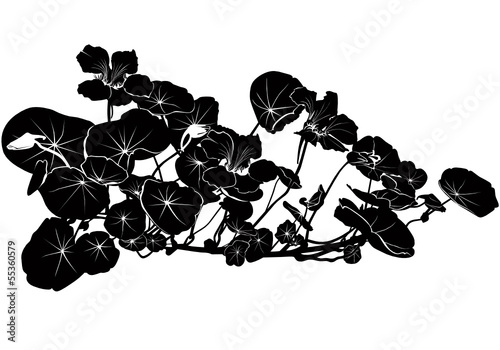 nasturtium flowers vector isolated