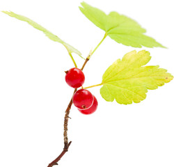 wild currant isolated