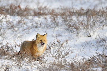 Red fox standing in snow at tundra.