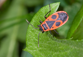 A firebug (Pyrrhocoris apterus) sits on a leaf