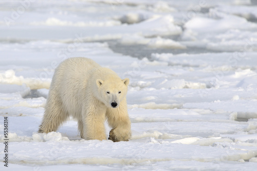Polar bear walking on pack-ice.