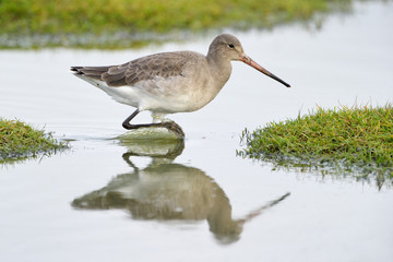 Black-tailed Godwit walking in water