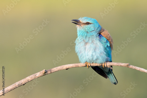 Eurasian roller shaking his feathers