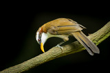 White-browed Scimitar-babbler with black background poster