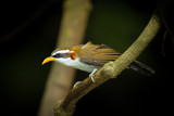 White-browed Scimitar-babbler look at the camera poster