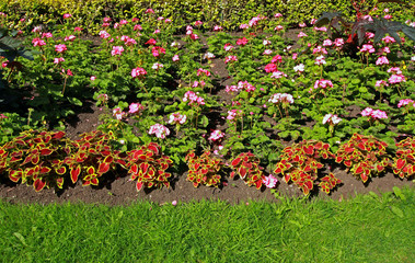 Flowerbed with geranium flowers