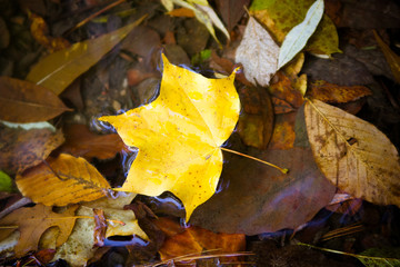 Yellow maple leaf to swim on the water.  autumn leaves in a wate