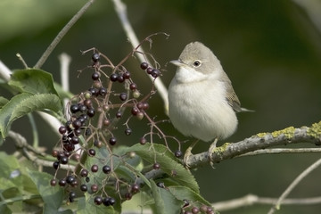 Common Whitethroat in natural habitat / Sylvia communis