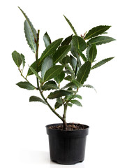 Bay Laurel (Laurus nobilis) in pot